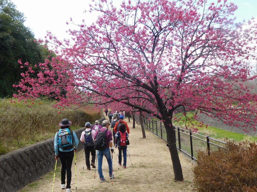 もみじ橋傍の寒緋桜は真っ赤で綺麗