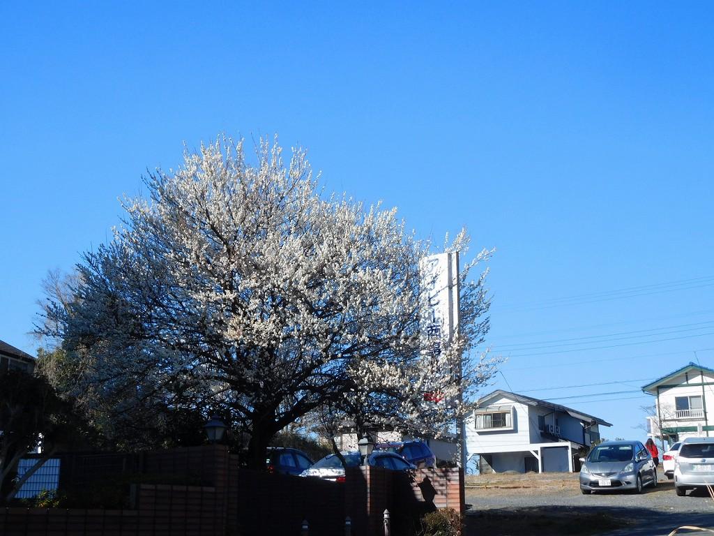 白梅が満開の1本の木に「綺麗!!」の声が挙がる