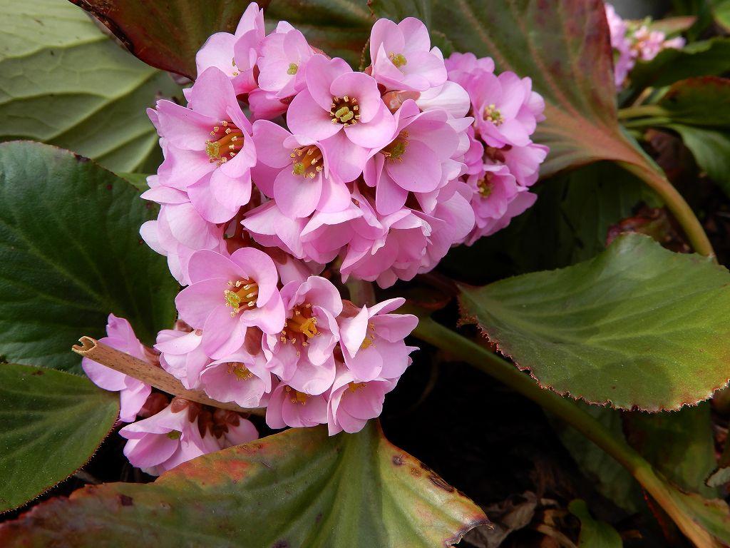ヒマラヤ雪ノ下も咲いてました