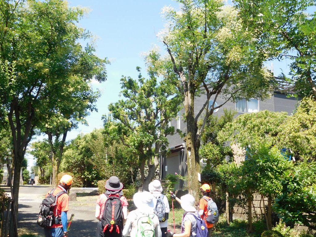 「槐」の木が約10本ある場所に到着しました