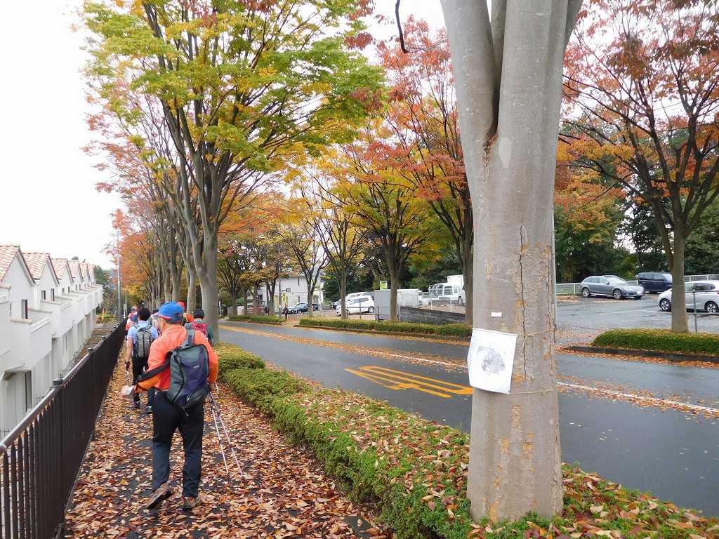 黄色の欅の落葉の上を歩く
