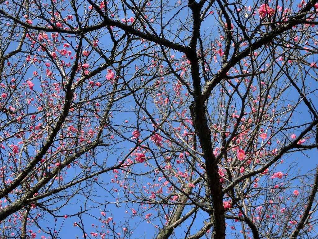 紅梅は数本咲いています