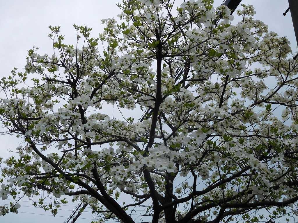 花水木もこの樹は良く咲いていた
