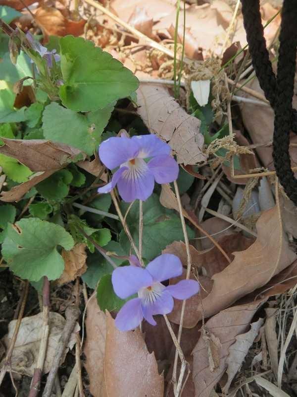 白花の蛇苺の横には立坪菫(タチツボスミレ)が咲いていた