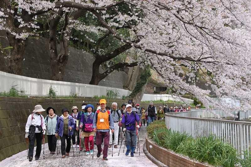 桜の下のウォーキングで皆 笑顔!!