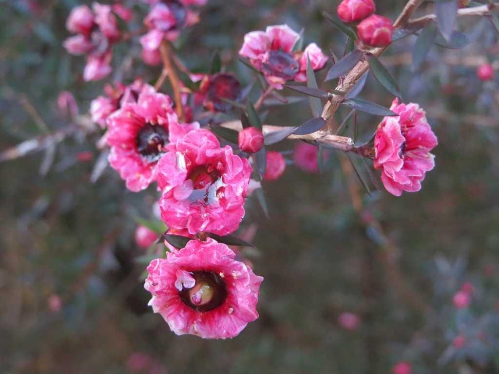 住宅街には何軒もの御宅に御柳梅が咲いている