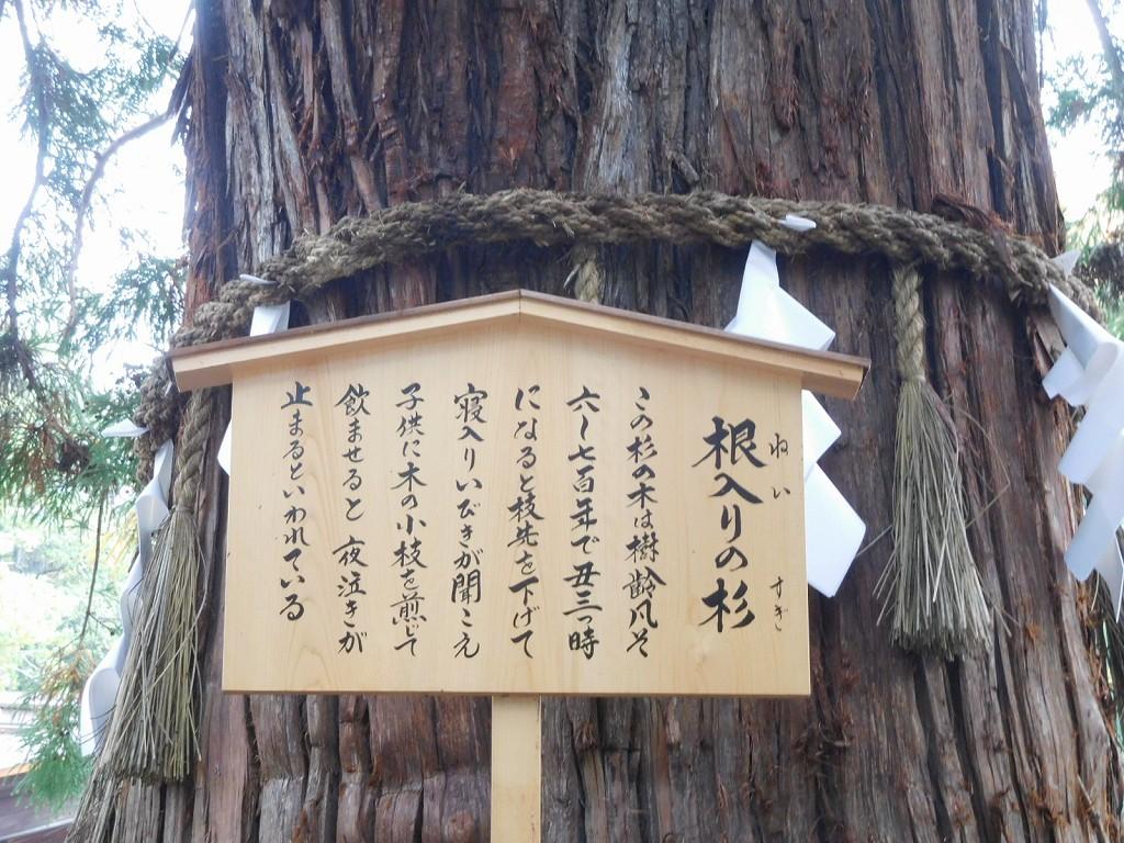 樹齢凡そ6~700年といわれる根入り杉
