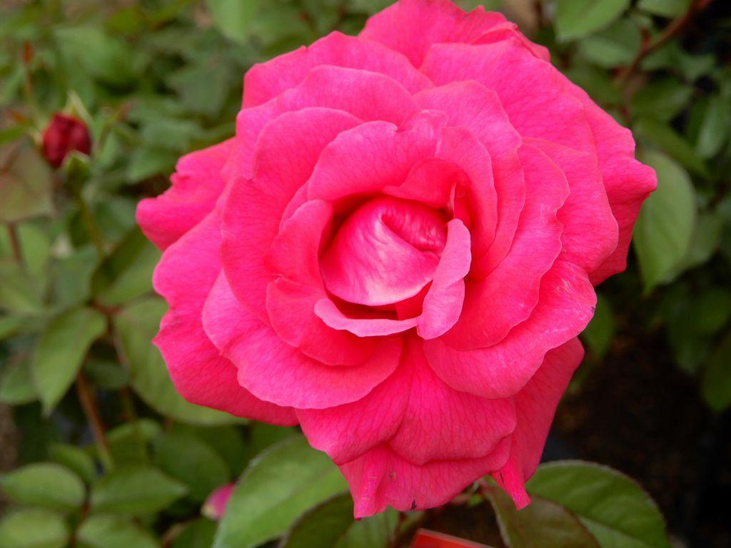 アイスバーグという真っ赤なバラ