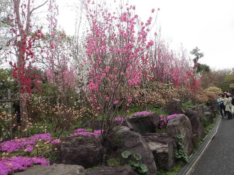 花桃の木も満開