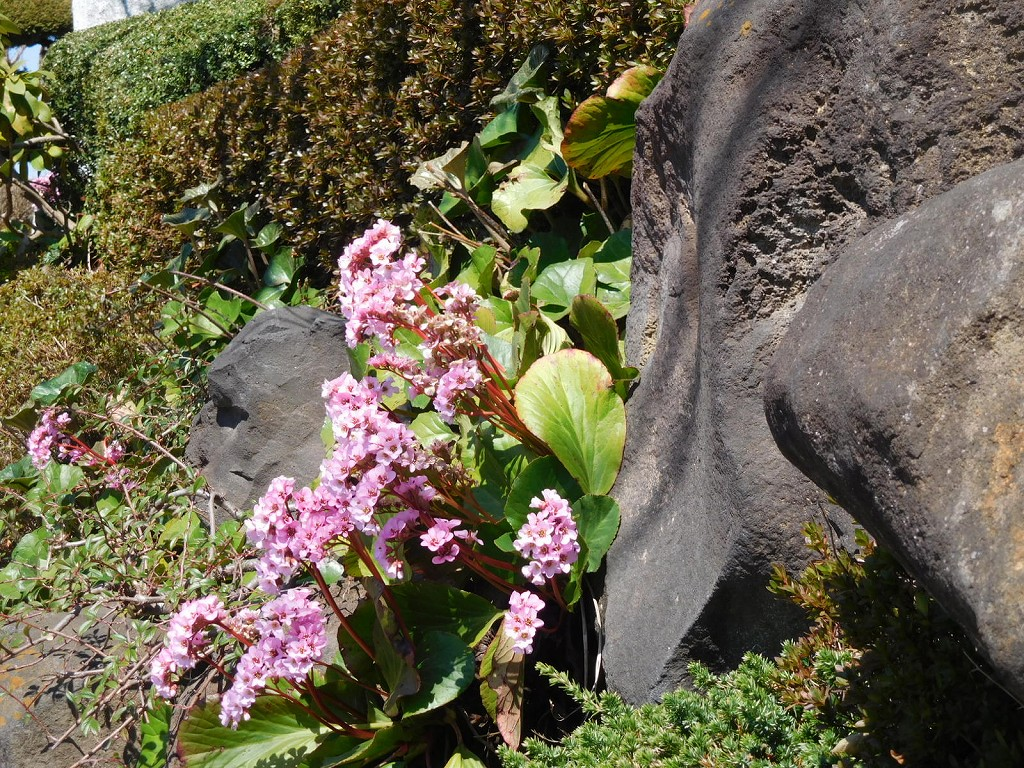 ヒマラヤ雪ノ下の咲いているお宅の横をウォーキング