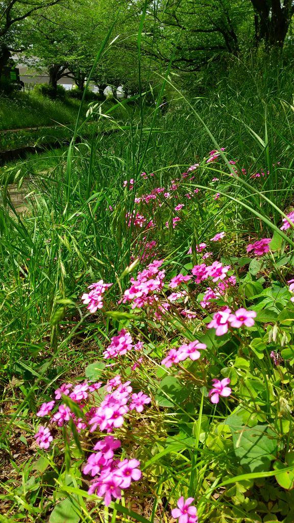 同上 イモカタバミの花