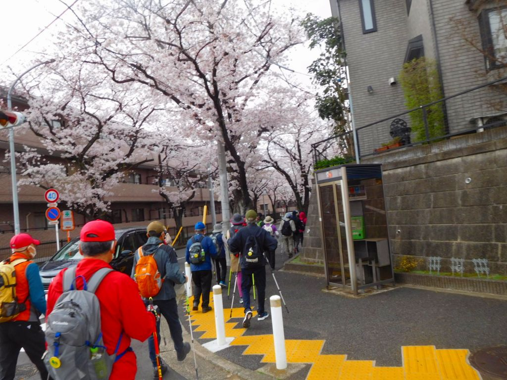 あざみ野桜通りの桜並木に入ります