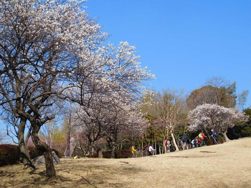 紅梅・白梅が満開です。富士山は霞んで見えました