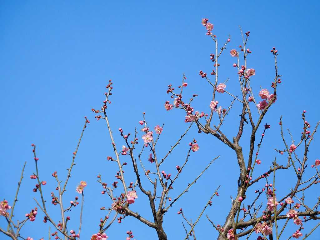 公園内の紅梅も咲き綻び始めている 青空をバックの紅梅