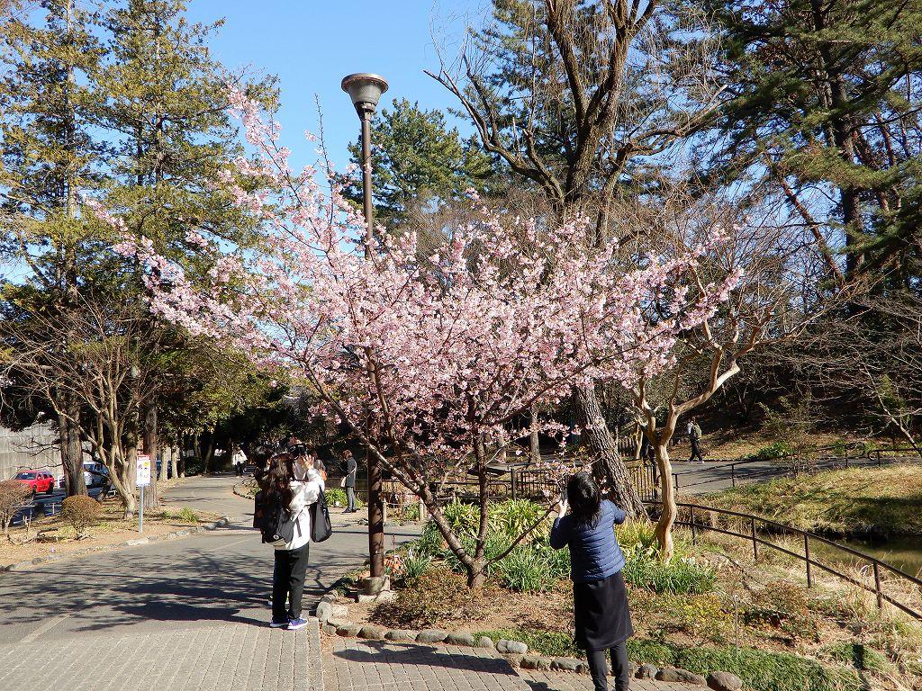 藤が丘公園の河津桜です