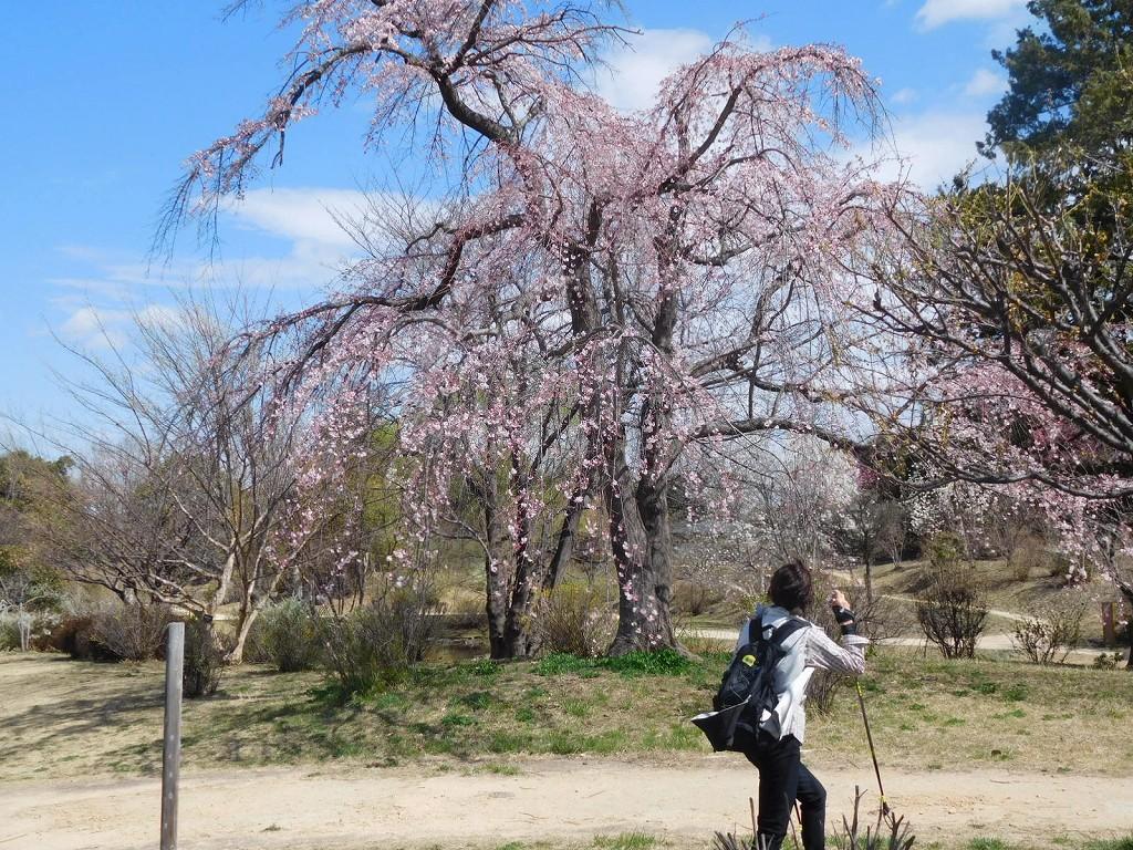 枝垂桜も咲き始めています