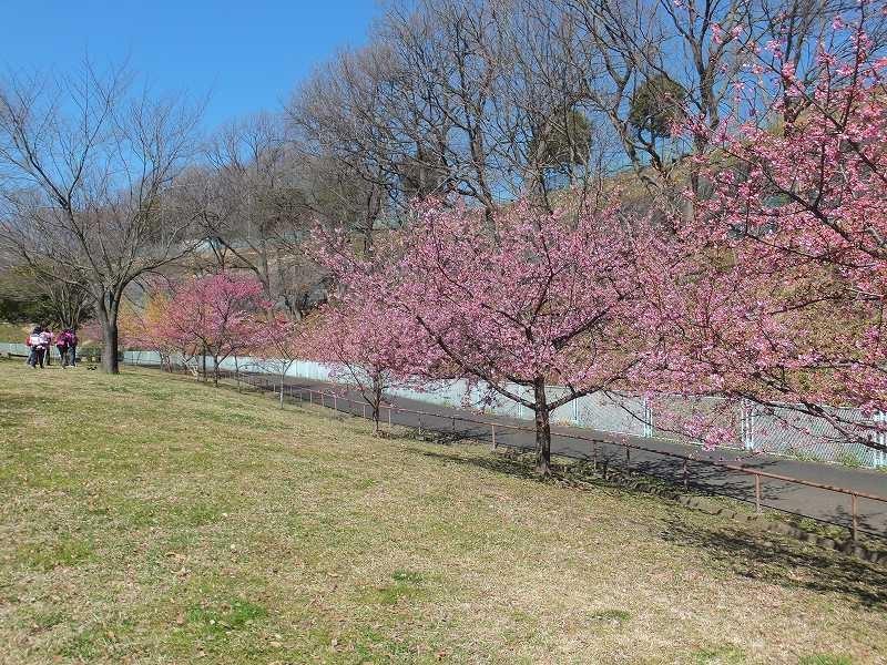 北八朔公園でも河津桜が満開