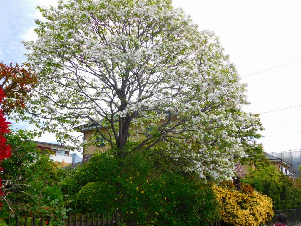 花水木の大木のお宅