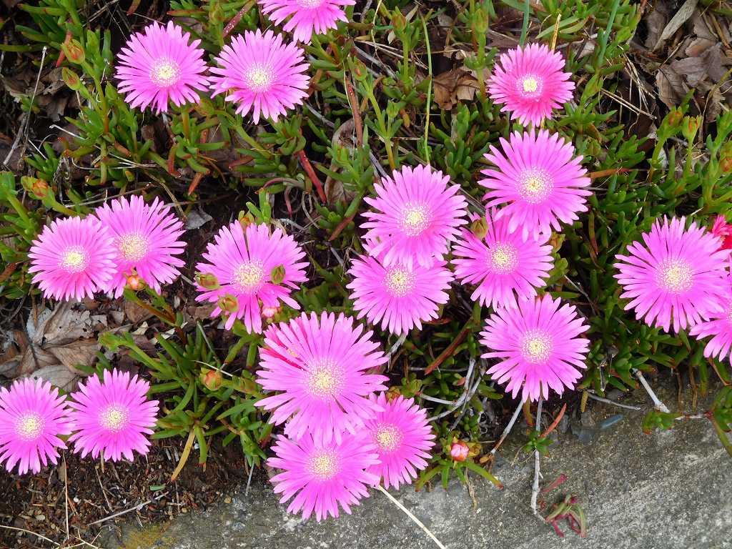 途中松葉菊が綺麗に咲いている