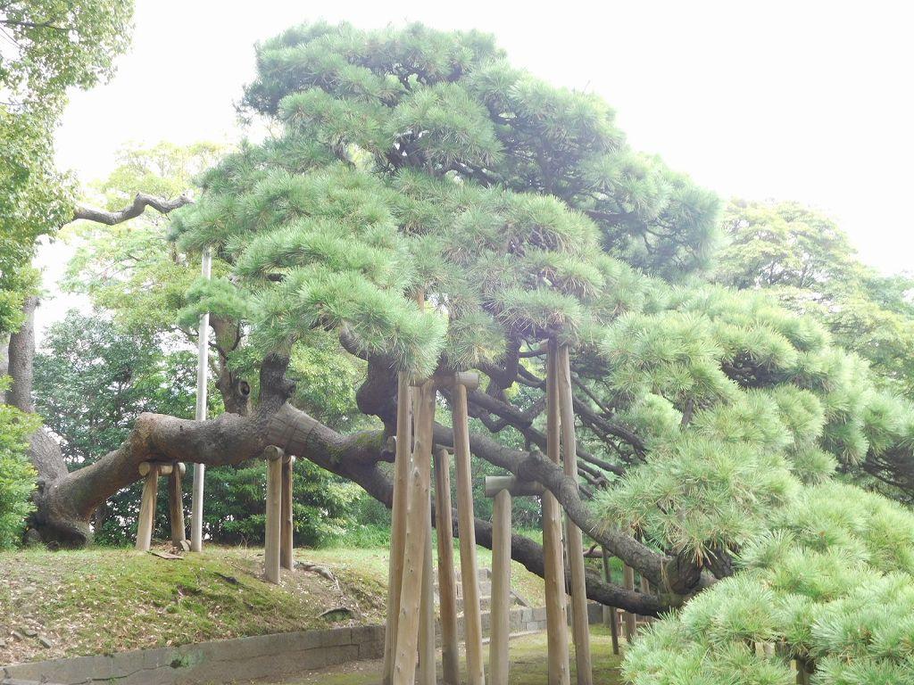 6代将軍家宣が植えたと伝えられる都内最大級の樹齢300年の黒松