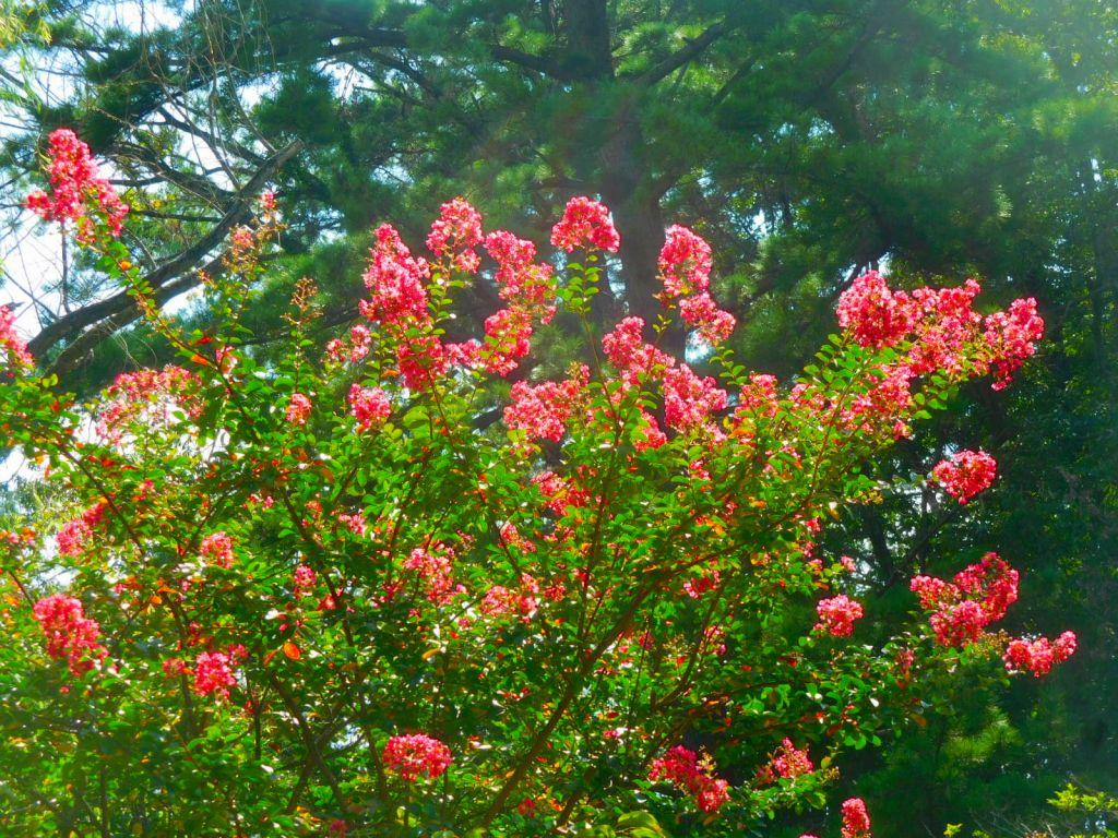 休憩している皆さんの頭上には真っ赤な百日紅の花