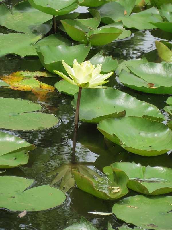 藤ヶ丘公園の睡蓮は黄色ばかりでしたが綺麗に咲いています