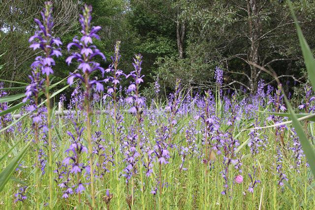 園内に咲いているサワギキョウ 紫の色が綺麗ですね