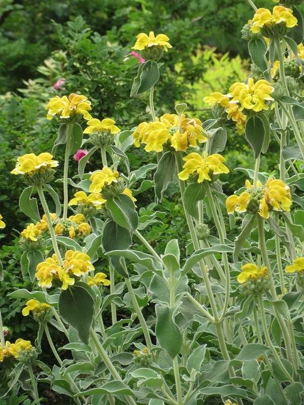 花名は知らないが黄色いかわいい花も満開です