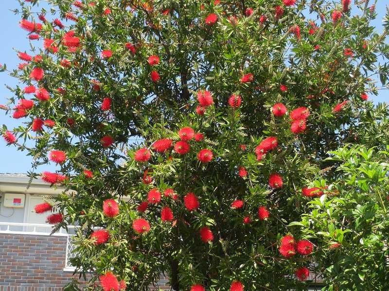 ある御宅の庭にはブラシの木が赤い花をつけていた