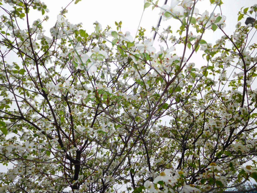この花水木を撮ったのでしょう