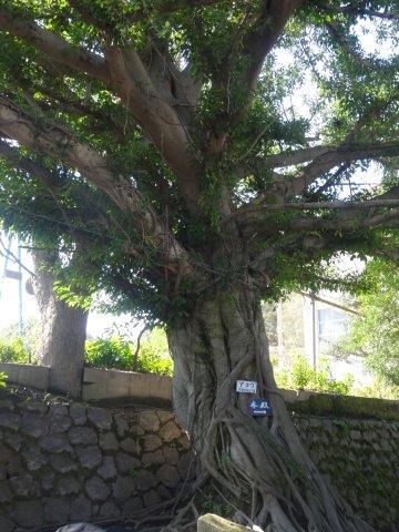 亜熱帯性のクワの木「アコウ」の樹
