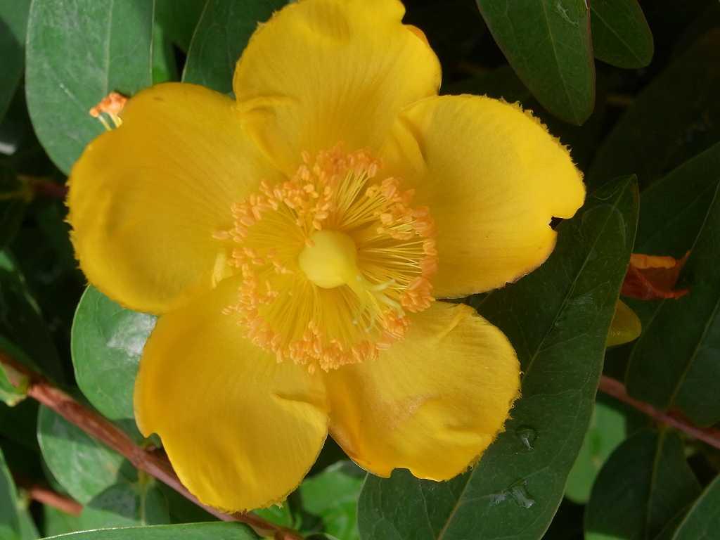 集合場所 ビオラ市が尾の花壇に咲いている金糸梅