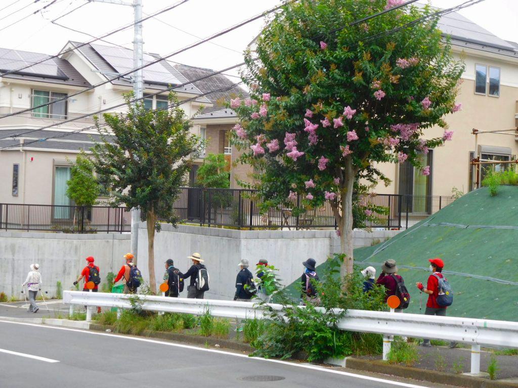 ここで百日紅並木は終わりです