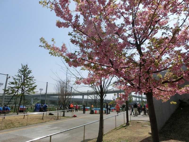 河津桜もまだまだ見れますよ