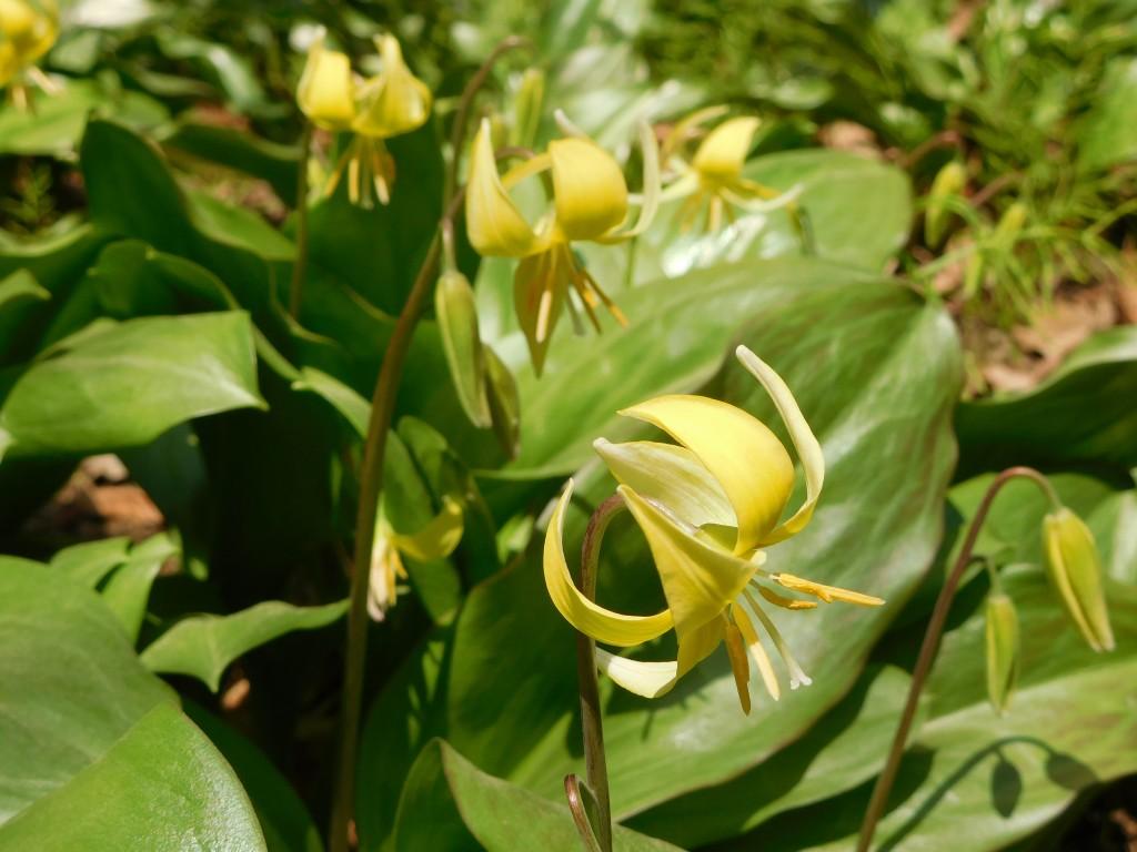 黄色のカタクリの花