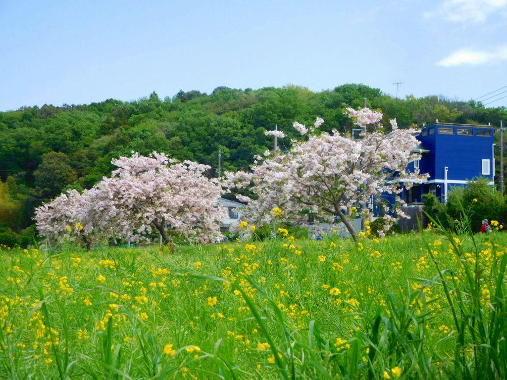 川和駅傍らの菜の花畑と桜 今年の菜の花も見納めですね