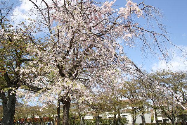 桜ロード途中の桜の名残り桜