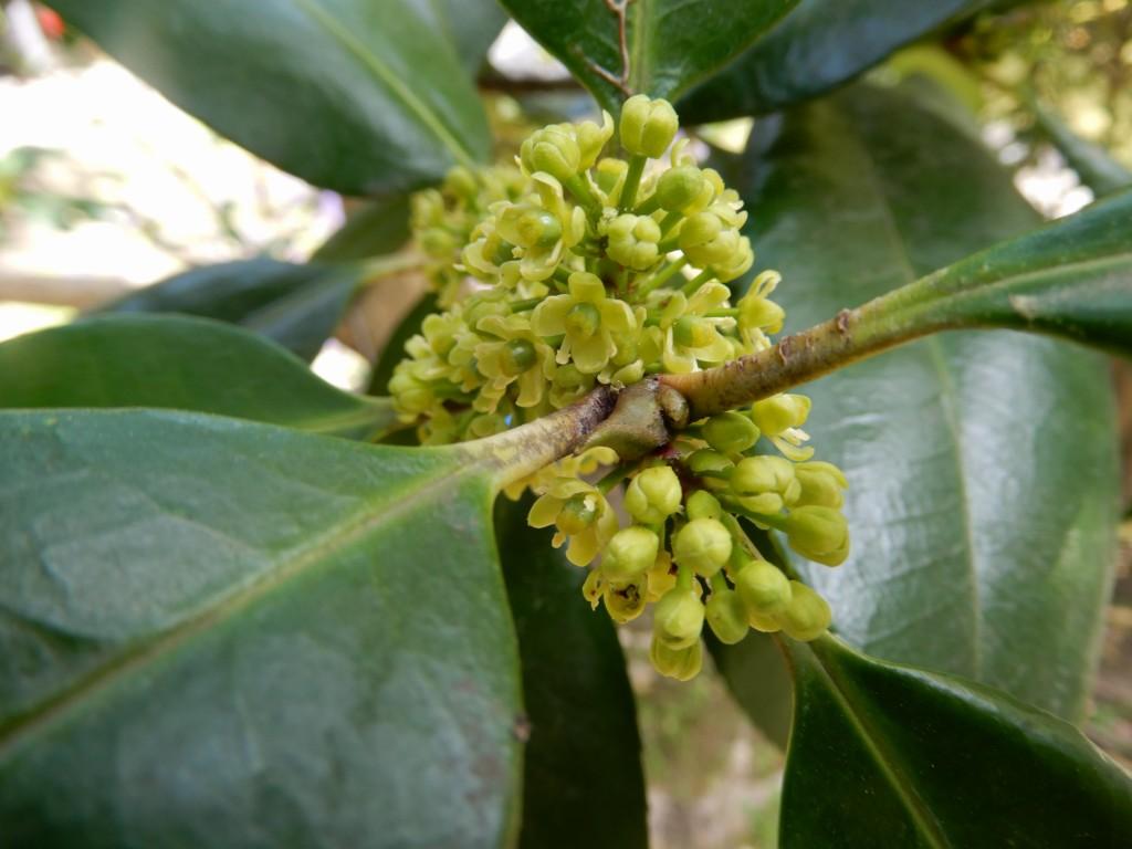 葉書の木といわれる「タラヨウ」の小さな花も咲いています