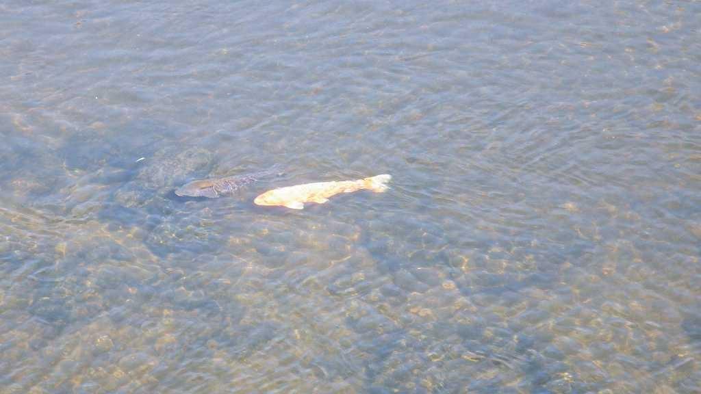 恩田川には緋鯉も泳いでいました