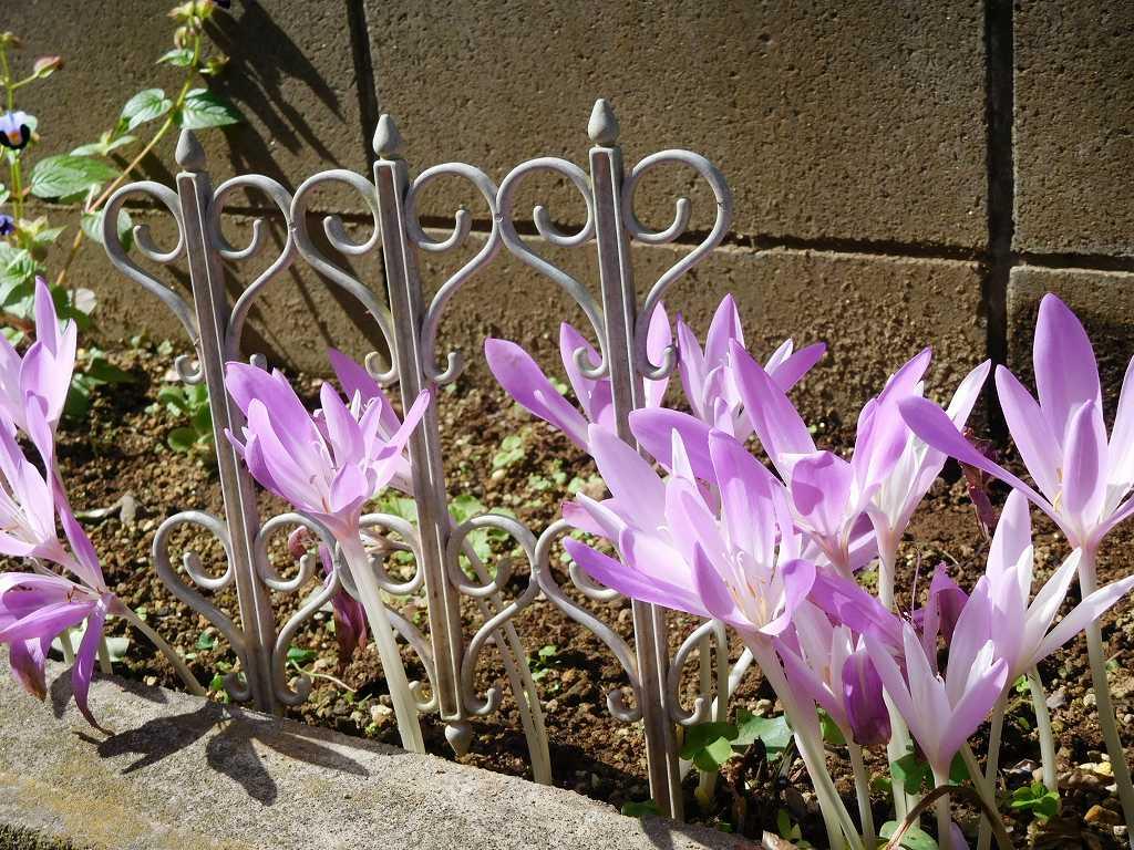 「コルチカム」の花 珍しいですね。沢山咲いていました。