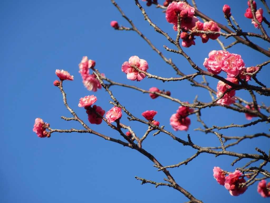 紅梅は見事に咲いていました。観梅に来られたグループもおられました