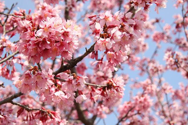 水無川おかめ桜のアップ 綺麗ですね