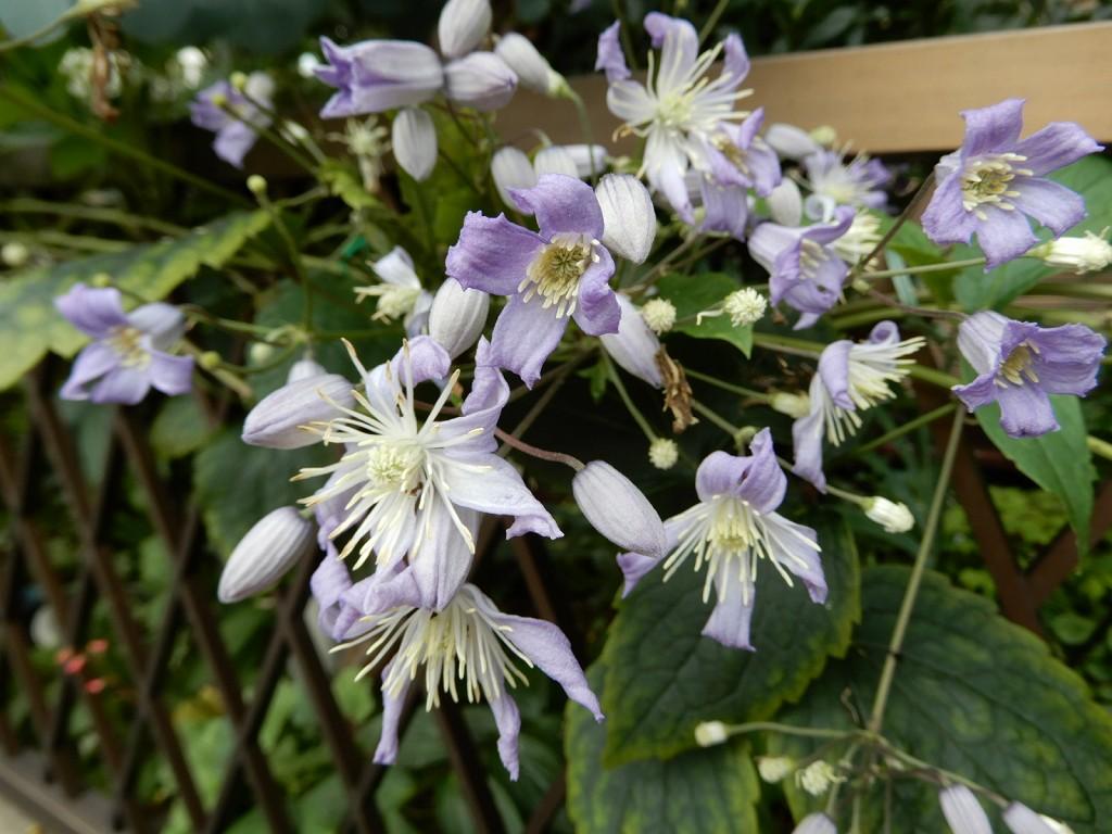 クレマチス(花形が小さいが)によく似た花も咲いてます
