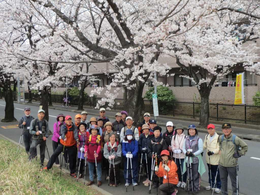 あざみ野桜の街路樹 青葉区も綺麗な所が沢山あります