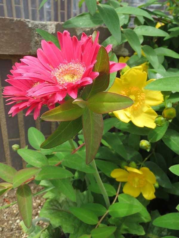 ビオラ市が尾地域ケアプラザの玄関には金糸梅・ガーベラが綺麗に咲いています