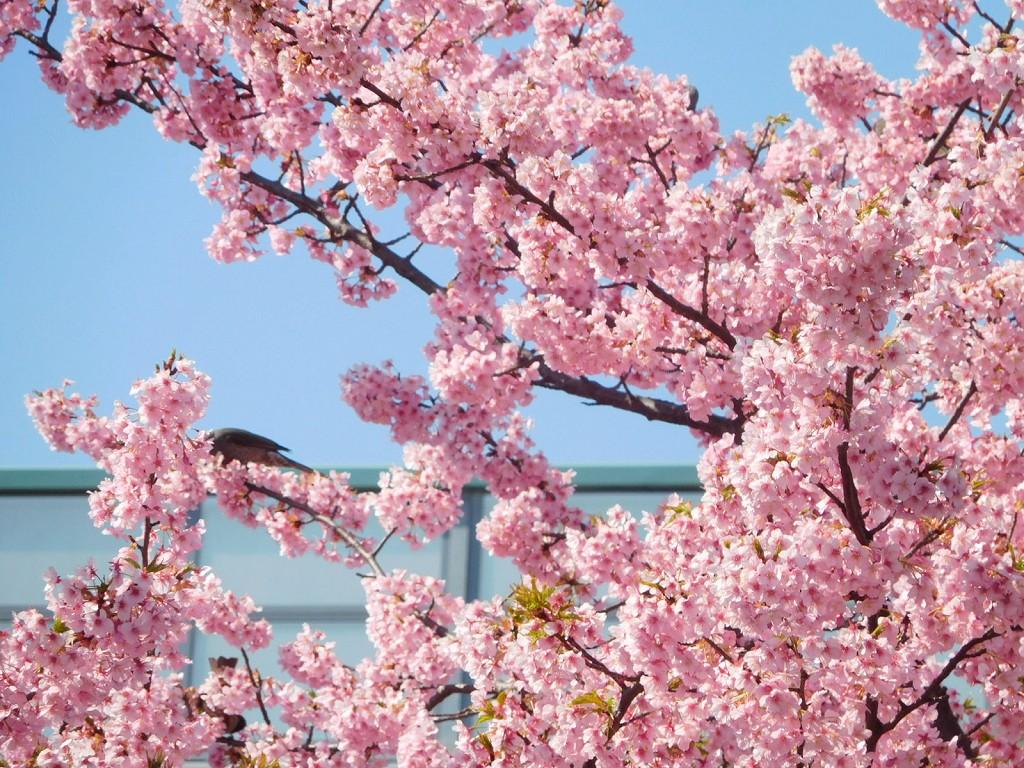 谷本公園の河津桜も満開です
