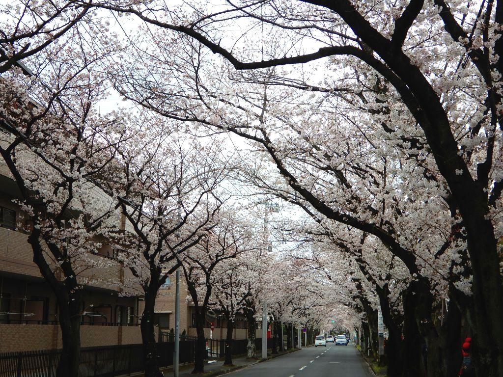 あざみ野桜トンネルです