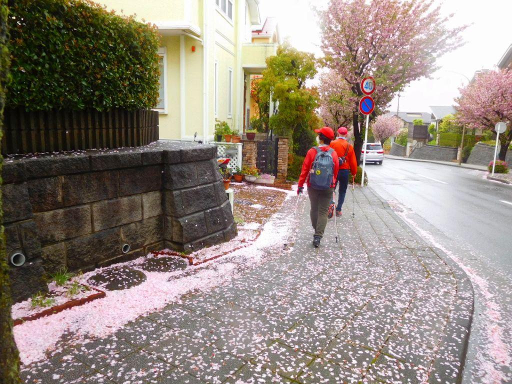 散った花ビラが道脇に塊まっています