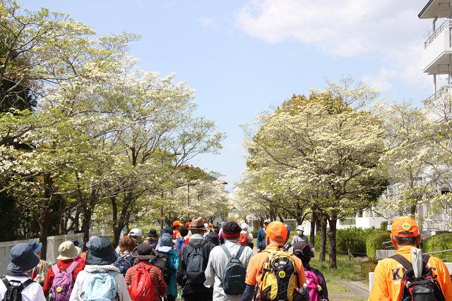 住宅街には桜・花水木も咲いています