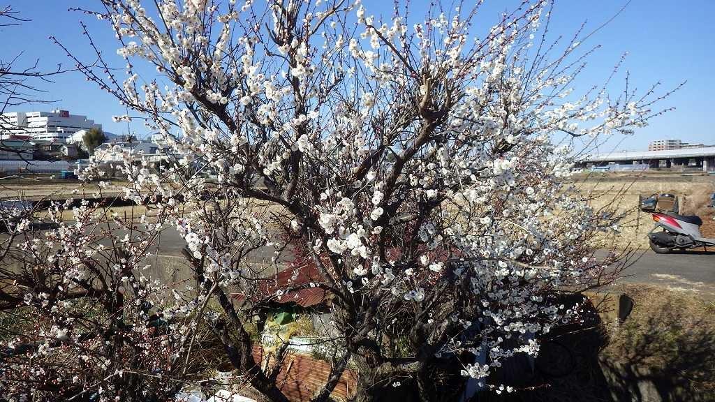 川沿いに白梅が綺麗に咲いてます